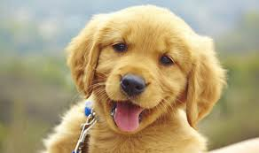 Dogs are one of the two most popular Pets in the United States. A young dog is called a puppy.